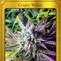 Grapey Walter Auto Feminised Seeds