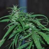 Green Haze Regular Seeds