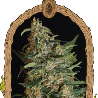 Green Gummy Feminised Seeds