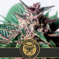 Grizzly Purple Auto Feminised Seeds