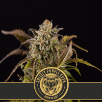 Grizzly Purple Kush Feminised Seeds
