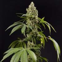 Guava Berry Kush Feminised Seeds