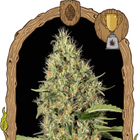 Gypsy Widow Feminised Seeds