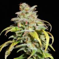 Harlequin CBD Feminised Seeds