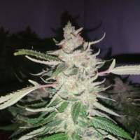 Harliqueen Regular Seeds