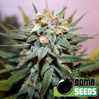 Hash Bomb Regular Seeds