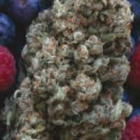 Hashberry Regular Seeds
