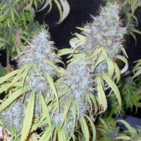 Haze Freak Regular Seeds