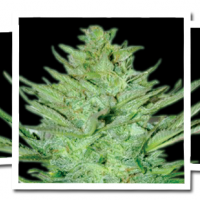 Headlights Kush Auto Feminised Seeds