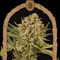 Herz OG Feminised Seeds