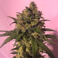 Highlo CBD Feminised Seeds