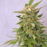 Ginger Punch (Hobbit) Automatic Feminised Seeds