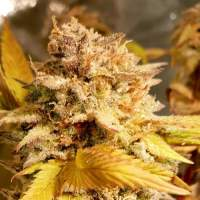 Fizzy Peach Feminised Seeds