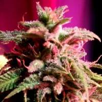 Strawberry StarDawg Feminised Seeds