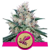 Honey Cream FAST Version Feminised Seeds