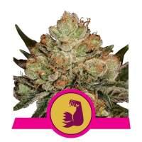 HulkBerry Feminised Seeds