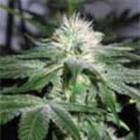 Ice Feminised Seeds