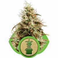 Royal Jack Automatic Feminised Seeds