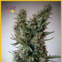 Jack Ultra CBD Feminised Seeds