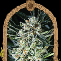 Jelly Bananas Feminised Seeds