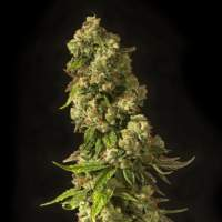 John Doe Regular Seeds