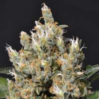 Kali Feminised Seeds