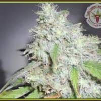 Kali's White Shadow Feminised Seeds
