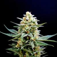 Kama Kush CBD Feminised Seeds