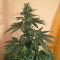 Mind Binder Feminised Seeds