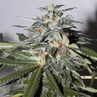KC 51 Auto Feminised Seeds