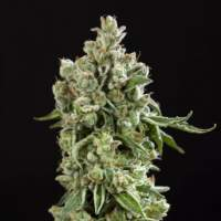 Key Lime Pie x Do-Si-Dos Limited Edition Feminised Seeds