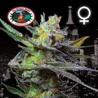 King Kong Feminised Seeds