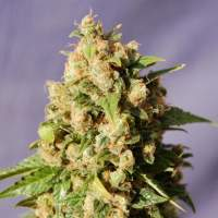 Kiss (Big Northern) Feminised Seeds
