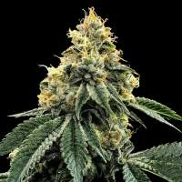 Kosher Dawg Feminised Seeds