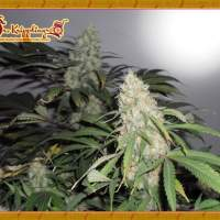 Kripple Roulette Feminised Seeds