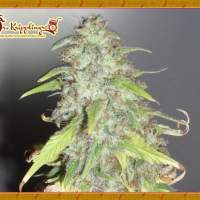 Kripple Shock Feminised Seeds