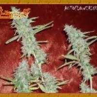 Krippleberry Auto Feminised Seeds