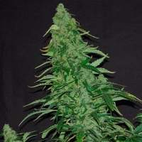 Kush Van Stitch Autoflowering Regular Seeds