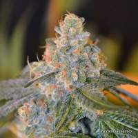 Lands End Regular Seeds
