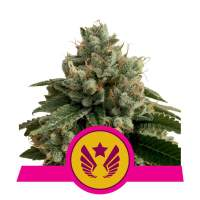 Legendary Punch Feminised Seeds