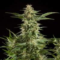 Lemon CBD Auto Feminised Seeds