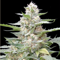 Lemon Amber Kush Feminised Seeds