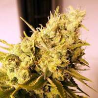 Lemon 'n' Lime Jones Feminised Seeds