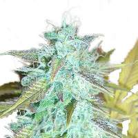 Lemon Haze Auto Feminised Seeds