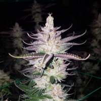 Lemon Jedi Regular Seeds