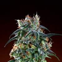 Bay 11 Regular Seeds