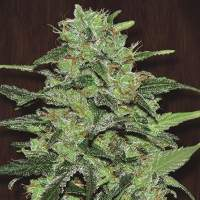 Malawi Feminised Seeds