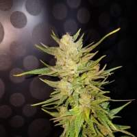 Malawi Gold Feminised Seeds