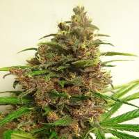 Malawi x PCK Feminised Seeds
