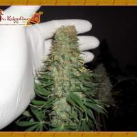 Mango Chutney Feminised Seeds